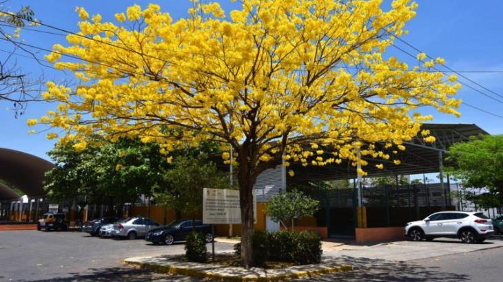 Foto Galería: Florecer tardío de Guayacanes