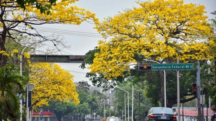 FOTO GALERÍA: Tabasco se viste de amarillo con el esplendoroso florecer de los guayacanes