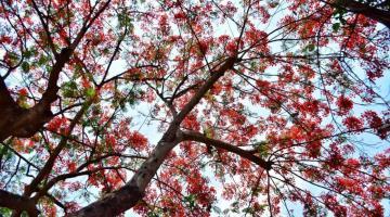 El rojizo florecer de los framboyanes se hace presente
