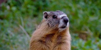 Ingesta de carne de marmota habría provocado dos casos de ´peste negra´ en Mongolia