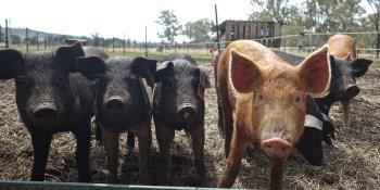 Gobierno de China defiende que gripe porcina G4 no infecta a humanos fácilmente