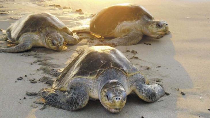 Gracias a la cuarentena, tortugas marinas rompen récord en desoves en Isla de Cozumel