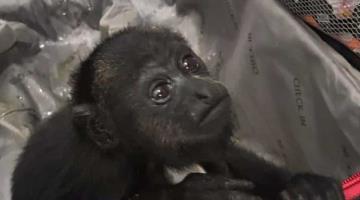 Rescata Guardia Nacional dos ejemplares de Mono aullador en Quintana Roo