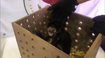 Asegura la Guardia Nacional un ejemplar de mono araña en el aeropuerto de Chihuahua