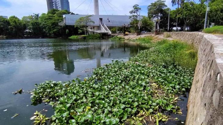 Amenaza lirio acuático al vaso Cencali de la laguna de las Ilusiones