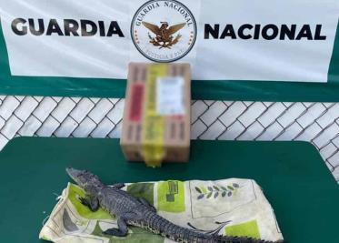 Asegura Guardia Nacional 60 kilos de marihuana abandonada en camioneta en Sonora