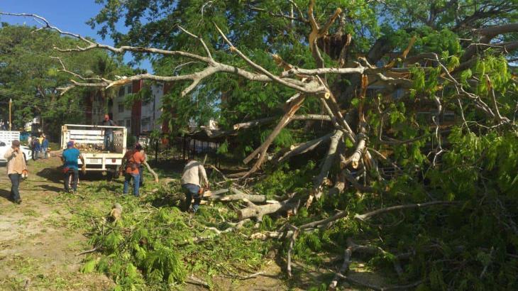 Cae árbol de más de 80 años sobre vehículos en Lamberto Castellanos, Centro