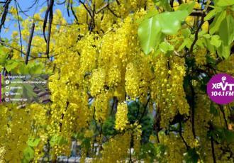 Llueve oro en Tabasco en estos días primaverales de intenso calor