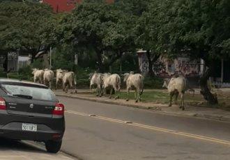 Vacas causan caos en Bolivia; hay cuatro heridos