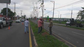 Reponen árboles que derribaron en la tercera etapa del distribuidor Universidad