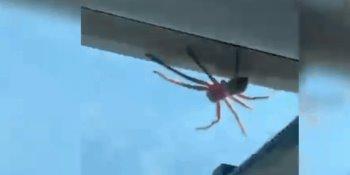 En Australia, un piloto descubre una araña gigante en el techo de su avioneta en pleno vuelo