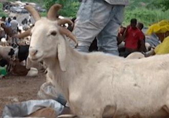Aparece carnero con 5 cuernos en festividad musulmana en Nigeria