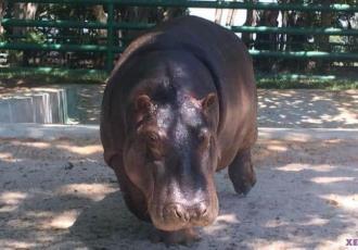 Realizarán mantenimiento a laguna de hipopótamos del Yumká