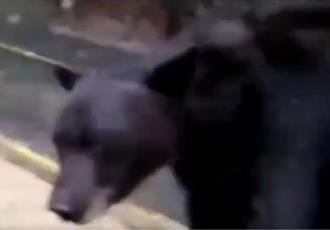 Agreden a oso con gas lacrimógeno en Nuevo León