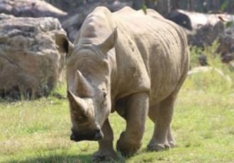 """Muere """"Toby"""", el rinoceronte más longevo del mundo"""
